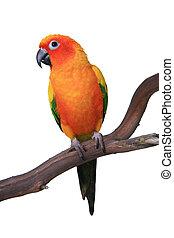 sprytny, słońce conure, papuga, posiedzenie, na, niejaki, drewniany, grzęda