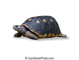 spur-thighed turtle isolated over white - spur thighed...
