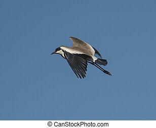 Spur-winged lapwing wild bird in flight