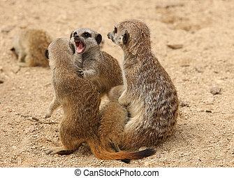 Squabbling Meerkats