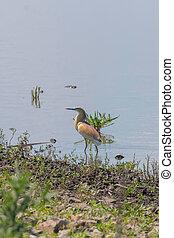 Squacco Heron (Ardeola ralloides) in Natural Habitat