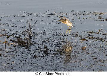 Squacco heron landing on reeds in river marshland