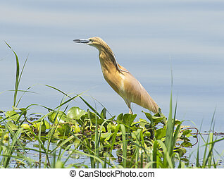 Squacco heron stood in grass reeds by river bank