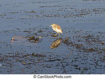 Squacco heron stood on reeds in river marshland