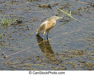 Squacco heron wading in river with grass reeds