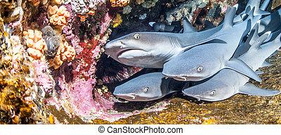 squali, bianco, punta, scogliera