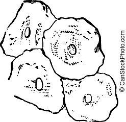 Squamous epithelium, vintage engraved illustration.