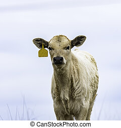 Square image of a blond calf with a yellow ear tag