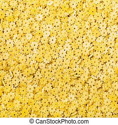 durum wheat semolina pasta stelle