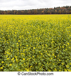 square picture of blossoming yellow mustard seed on field near forest in autumn color