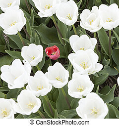 square picture of one red tulip between white ones in garden seen from above