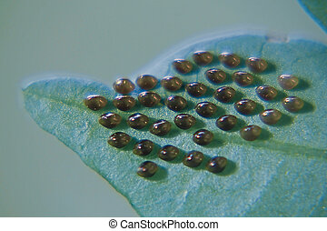 Squash bug (Hemiptera ) eggs on underside of leaf