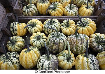squash, escolhido, colheita, freshly