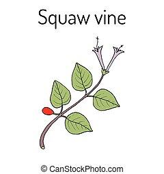 Squaw vine Mitchella repens , or partridge berry, medicinal plant