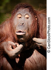 Squeezing pimples - Orangutan squeezing pimples in Colour