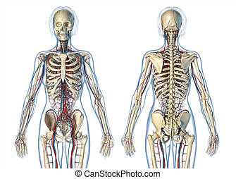 squelette, femme, système, views., anatomie, devant, arrière, cardio-vasculaire