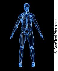 squelette, humain