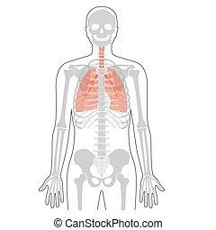 squelette, humain, concept