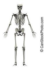 squelette, -, humain, devant, mâle, vue
