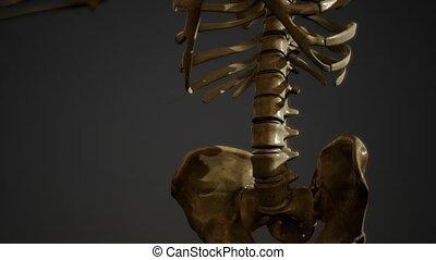 squelette, humain, os