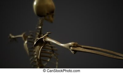 squelette, os, humain