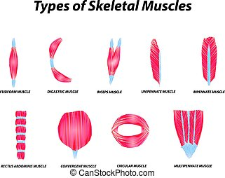 squelettique, muscles., isolé, illustration, anatomique, arrière-plan., vecteur, infographic., structure