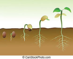 squence, de, frijol, semilla, germinación, en