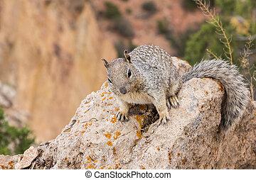 Squirrel along Grand Canyon