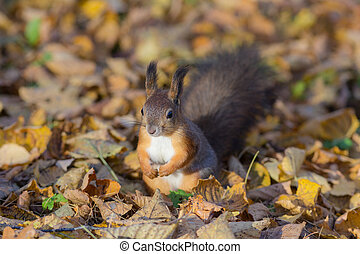 squirrel among autumn leaves