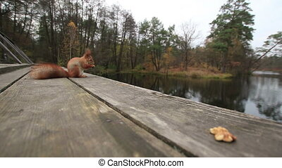 Squirrel And a Nut On a Bridge - Single squirrel sits on an...