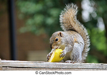 Squirrel and Apple