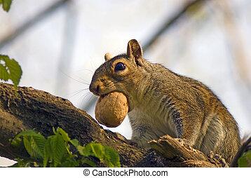 squirrel and walnut
