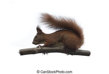 squirrel animal isolated on white background