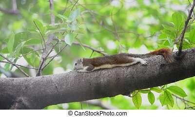 Squirrel brown color on a tree in the nature wild - Squirrel...
