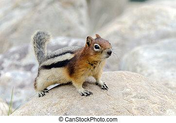 Squirrel Chipmunk in Lake Louise in Banff Park