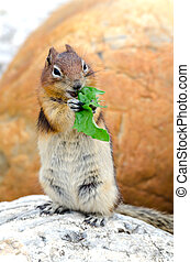 Squirrel Chipmunk