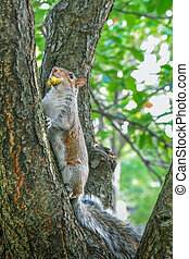 Squirrel climbing a tree, with fruit in its mouth. Battery Park, NYC USA