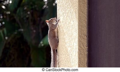 Squirrel climbing on stucco wall pauses
