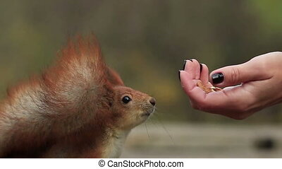 Squirrel Close-Up Grabs Walnut from a Hand - Red squirrel...
