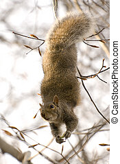 Cute squirrel dangling upside down and peering