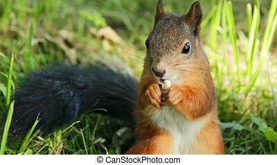Squirrel dines while sitting in the grass