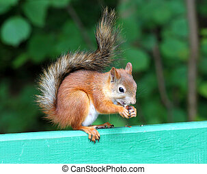 Squirrel eating a delicious nut