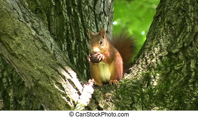 Squirrel eating a nut - Cute red squirrel holding a nut in...