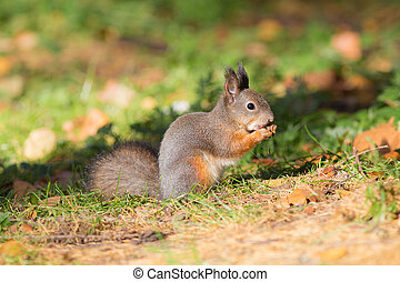 squirrel eating a nut in autumn
