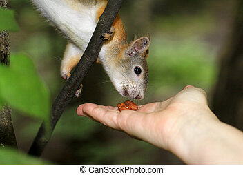 Squirrel eating a nut with two hands