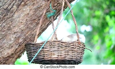 squirrel eating friuts in basket, basket hang on tree in the garden