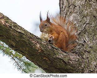 squirrel eating mushroom on pine tree