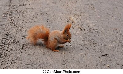 squirrel eating nuts on the ground