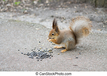 Squirrel eating sunflower seeds.