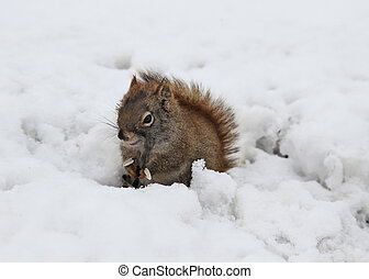 squirrel eating sunflower seeds on snow